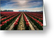 Tonemapped Greeting Cards - Sun Kissed Tulips Greeting Card by Spencer McDonald