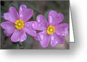 Perfumery Greeting Cards - Sun Rose (cistus Creticus) Greeting Card by Bob Gibbons