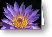 Florida Flowers Greeting Cards - Sun Worshiper Greeting Card by Sabrina L Ryan