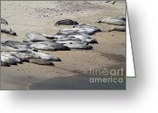 Sunbathing Greeting Cards - Sunbathing Elephant Seals Along A Beach At Point Reyes California . 7D16063 Greeting Card by Wingsdomain Art and Photography