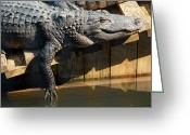 Sunbathing Greeting Cards - Sunbathing Gator Greeting Card by Carolyn Marshall