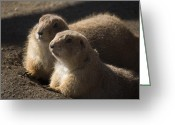 Prairie Dog Greeting Cards - Sundown Greeting Card by Trish Tritz