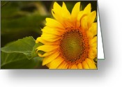 Balsamroot Greeting Cards - Sunflower-1 Greeting Card by Alexander Rozinov
