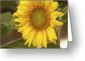 Balsamroot Greeting Cards - Sunflower-2 Greeting Card by Alexander Rozinov
