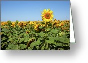 Standing Out From The Crowd Greeting Cards - Sunflower Greeting Card by Billy Currie Photography