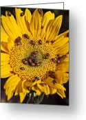 Insects Greeting Cards - Sunflower covered in ladybugs Greeting Card by Garry Gay