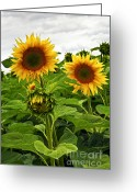 Flora Greeting Cards - Sunflower field Greeting Card by Elena Elisseeva