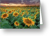Dusk Greeting Cards - Sunflower Field In Longmont, Colorado Greeting Card by Lightvision