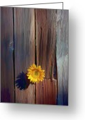 Indoors Greeting Cards - Sunflower in barn wood Greeting Card by Garry Gay