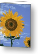 Flower Still Life Prints Greeting Cards - Sunflower Greeting Card by Jiji Lee