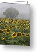 Landscape Photographs Greeting Cards - Sunflower Morning Vertical Greeting Card by Rob Travis