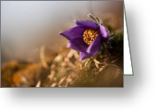 Pasque Flower Greeting Cards - Sunflower Greeting Card by Rikard  Olsson