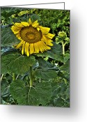 Spirit Rising Greeting Cards - Sunflower Sutra Greeting Card by William Fields