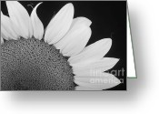 Bo Insogna Greeting Cards - Sunflower Three Quarter Greeting Card by James Bo Insogna