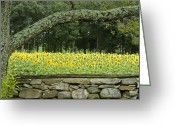Nef Raw File Greeting Cards - Sunflowers 1 Greeting Card by Ron Smith