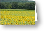 Nef Raw File Greeting Cards - Sunflowers 2 Greeting Card by Ron Smith