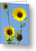 Texas Wildflowers Greeting Cards - Sunflowers And Blue Sky Greeting Card by Mark Weaver