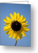 Lewistown Greeting Cards - Sunflowers And Bumble Bees In Eastern Greeting Card by Joel Sartore