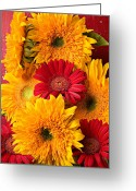 Cheerful Greeting Cards - Sunflowers and red mums Greeting Card by Garry Gay