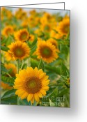 Pollen Greeting Cards - Sunflowers Greeting Card by Atiketta Sangasaeng