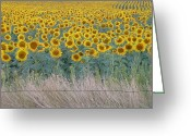 Estephy Sabin Figueroa Greeting Cards - Sunflowers Behind Barbed Wire Greeting Card by Estephy Sabin Figueroa
