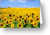 Asteraceae Greeting Cards - Sunflowers Greeting Card by Bill Bachmann and Photo Researchers