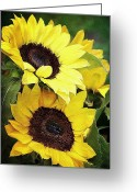Northwest Flowers Greeting Cards - Sunflowers Greeting Card by Cathie Tyler