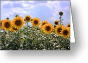 Cheering Greeting Cards - Sunflowers Greeting Card by Kristin Elmquist