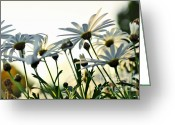 White Daisies Greeting Cards - Sunlight behind the Daisies Greeting Card by Kaye Menner