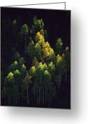 Autumn Scenes Greeting Cards - Sunlight Highlights Aspen Trees Greeting Card by Melissa Farlow