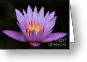 Florida Flowers Greeting Cards - Sunlit Water Lily Greeting Card by Sabrina L Ryan