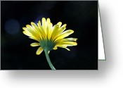 Photography Tk Designs Greeting Cards - Sunlit Yellow Gerbera Daisy Greeting Card by Tracie Kaska