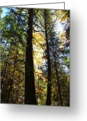 Christine Hafeman Greeting Cards - Sunlite pine trees Greeting Card by Christine Hafeman