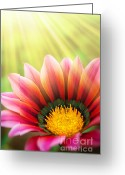 Pollen Greeting Cards - Sunny Daisy Greeting Card by Carlos Caetano
