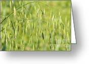 Crops Greeting Cards - Sunny day at the oat field Greeting Card by Christine Till