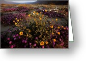 State Flowers Greeting Cards - Sunrise On Desert Wildflowers Greeting Card by Tim Laman