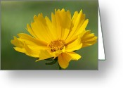 Tickseed Greeting Cards - Sunshine Flower Greeting Card by Kenneth Albin