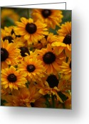 Black Eyed Susans Greeting Cards - Sunshine on a Stem Greeting Card by Crystal Nederman