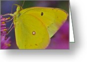 Designer Butterfly Works Photo Greeting Cards - Sunshine Wings Greeting Card by Debra     Vatalaro