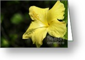 Flowers Miami Greeting Cards - Sunshine Yellow Hibiscus Greeting Card by Sabrina L Ryan