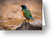 Tanzania Greeting Cards - Superb Starling Greeting Card by Adam Romanowicz