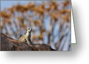 Quiver Greeting Cards - Suricate - Quiver Tree Forest, Namibia Greeting Card by Jlr