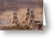 South Africa Greeting Cards - Suricate Family Greeting Card by Hein Welman