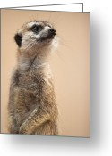 Wildlife Greeting Cards - Suricate Greeting Card by Hein Welman