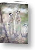 Standing Meerkat Photo Greeting Cards - Suricates Greeting Card by Alexey Bubryak