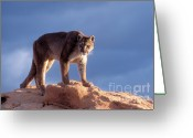 Puma Greeting Cards - Surveying the Territory Greeting Card by Sandra Bronstein