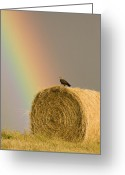 Sharp Claws Greeting Cards - Swainson Hawks on Hay Bale Greeting Card by Mark Duffy