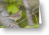 Wildlife Sculpture Greeting Cards - Swainsons Thrush Greeting Card by James Mundy