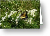 Live Art Greeting Cards - Swallow Tail  Greeting Card by Skip Willits