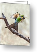African Wildlife Greeting Cards - Swallow-tailed Bee-eater Greeting Card by Tony Camacho